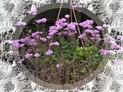 fiorellini rosa (pratolina17 ❀) Tags: fiori fiorellini rosa fiorirosa fioritura flora pianta