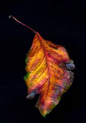 Rainbow Leaf (Wes Pettus) Tags: leaf color stillife closeup black rainbow studio aging