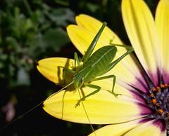 Watching you! (flying-leap) Tags: samsungsmg800y spring nz osteospermum katydid