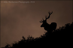 `Red Dawn` (Mike Warburton Photography) Tags: wales wildlife nature redstag reddeer rut autumn sillouette clouds colour antlers stag deer canon 70d sigma