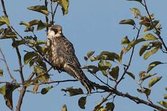 Red-footed Falcon (keynowski) Tags: redfootedfalcon aladoan falcovespertinus nature bird birdofprey animalplanet animal ngc canon70d 400mmf56l canonef400mmf56lusm