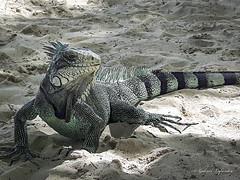 Maurice l'iguane... (Gabriel Lafrenière Photographe) Tags: iguane animal reptile guadeloupe antilles sable plage