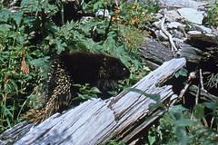 Glacier National Park - Stachelschwein (astroaxel) Tags: kanada british columbia glacier national park stachelschwein