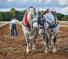 DSC05681 (Andy Oldster) Tags: eashing godalming farm plough ploughing heavyhorses shire sony alpha a65 slt