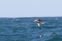 Sooty Shearwater #1 (scilly puffin) Tags: sootyshearwater sapphirepelagics islesofscilly october