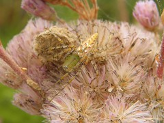 Master of Camo: Green Lynx Spider (Peucetia viridans) (Sharpj99) Tags: animalia arthropoda arachnida araneae greenlynxspider oxyopidae peucetia peucetiaviridans taxonomy:kingdom=animalia taxonomy:class=arachnida taxonomy:order=araneae taxonomy:phylum=arthropoda taxonomy:common=greenlynxspider taxonomy:binomial=peucetiaviridans taxonomy:family=oxyopidae taxonomy:genus=peucetia taxonomy:species=viridans