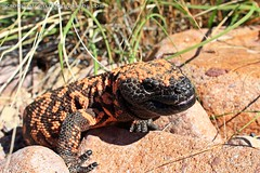Healthy Gila (Crotalusfreak) Tags: wild arizona southwest nature toxic beauty animal animals monster landscape photography desert reptile wildlife gorgeous awesome lizard western wilderness gilamonster herp southwestern venomous herpetology heloderma desertscape herping helodermasuspectumsuspectum