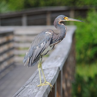 Tricolored Heron stands tall