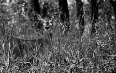 Deer Portrait (LostMyHeadache: Absolutely Free *) Tags: trees summer cute nature grass animal forest canon woods wildlife deer foliage 1001nights davidsmith whitetaildeer deerintheheadlights calgaryalbertacanada eos60d 1001nightsmagiccity