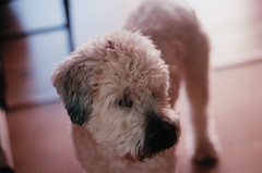 (Aisling Rowland) Tags: dog pet pets cute film dogs analog puppy beige furry nikon soft dof tan adorable fluffy monochromatic fluff terrier wheatenterrier pup nikonfm2 fm2 shallowdepthoffield shallowdof softcoatedwheatenterrier