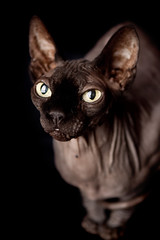 1 (heytootsy) Tags: sphinx cat hairless