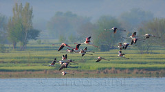 greater flamingo (zahoor-salmi) Tags: camera pakistan macro nature birds animals canon lens photo tv google flickr natural action wildlife watch bbc punjab wwf salmi walpapers chanals discovry beutty bhalwal zahoorsalmi thewonderfulworldofbirds blinkagain