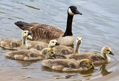 Geese and Goslings (Rich Terrell) Tags: birds