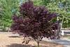 Flowering Plum (Finatic 's iNaturalist Stream) Tags: floweringplum greatnature