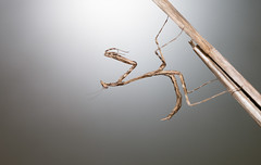 1DX_7585 (felt_tip_felon) Tags: macro bug insect predator prayingmantis creepycrawlies mantid