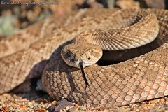 Western Diamondback Rattlesnake (CrotalusfreakPhotography) Tags: wild arizona southwest nature toxic beauty animal animals landscape photography desert reptile snake wildlife gorgeous awesome western wilderness rattlesnake herp southwestern venomous herpetology crotalus crotalusatrox desertscape herping westerndiamondbackrattlesnake