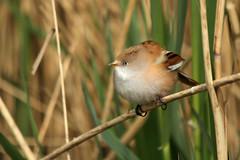 IMG_6818 (emmsco) Tags: bird reeds wildlife norfolk fakenham pensthorpe 60d 55250mm