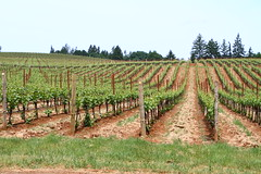 Vineyard's edge (Nick / KC7CBF) Tags: new green oregon early vineyard spring wine trimmed young grow winery growth vineyards rows commercial valley grapes production immature turner grape willamette vinyard viticulture pruned undeveloped manicured trellising 2013