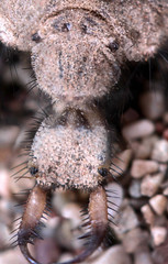 Antlion (Myrmeleonridae/Myrmeleo) (talates) Tags: macro nature insect spider tube extension reverse reversed takumar28mm
