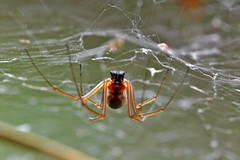 Struikhangmatspin (Neriene peltata) - Veluwezoom Imbos (m) (Theo (gimme the old interface)) Tags: spiders spinnen