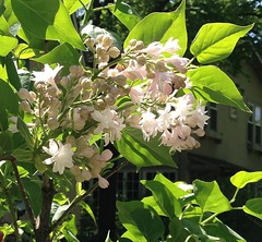 """Beauty of Moscow, Lilac""  IMG_0837 (kluehirschSnowpine) Tags: pink flowers sunlight white contrast illinois spring lilac evanston mygarden iphone beautyofmoscow"