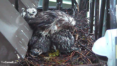 nestling looks out from shelter (Cornell Lab of Ornithology) Tags: red bird big nest cams cornell hawks redtailedhawk nestlings labofornithology cornelllabofornithology birdcams