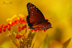 """Butterfly Perched on a Flower"" (Brandi Fox) Tags: flower nature butterfly warm natural macrocloseup"