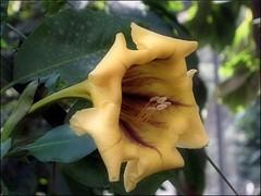(Tlgyesi Kata) Tags: budapest greenhouse botanicalgarden solandramaxima fvszkert botanikuskert cupofgold plmahz hawaiianlily veghz withcanonpowershota620 chalicevines aranysrgariscssze