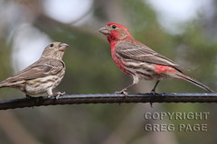 House Finch (gregpage1465) Tags: park house mountains male bird nature female photography photo texas greg state wildlife picture finch page davis housefinch carpodacus mexicanus gregpage