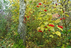 Colours Of Autumn (ivlys) Tags: autumn nature germany deutschland hessen herbst birke birchtree viburnum schneeball odenwald snowballbush neutsch ivlys