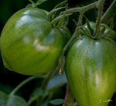 Tomates rescapes des orages du printemps ... (Emmanuel Cattier -) Tags: tomate vgtaux lgume fleur jardin fleursetplantes garden plante vgtal