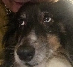 "Another selfie ""really "" (Stu_139) Tags: fedup dog sheltie bonnie"