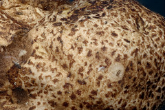 Mushroom 5x Tolland, CT (Macroscopic Solutions) Tags: macro macropod macroscopicsolutions micro macrophotography microscope macroscopic mycology taxonomy:kingdom=fungi fungi taxonomy:phylum=basidiomycota basidiomycota mushroom  hongosdesombrerito basidiomiceti     stnderpilze  taxonomy:common=mushroom taxonomy:common= taxonomy:common=hongosdesombrerito taxonomy:common=basidiomycota taxonomy:common=basidiomiceti taxonomy:common= taxonomy:common= taxonomy:common= taxonomy:common= taxonomy:common=stnderpilze taxonomy:common=