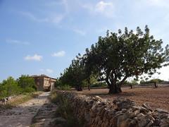 Campo de olivos junto a casa en ruinas (viajandoconxavi) Tags: campodeolivos olivos planta campo olives ruins casaenruinas ruinas house gost