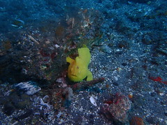 Safari Bali - diving 2016 (Valerie Hukalo) Tags: muckdiving antennarius frogfish bali asie asia indonsie indonesia hukalo safaribali patrickhukalo underwaterphotography photographiesousmarine plonge diving ocanindien indianocean candidasa