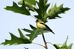 Chardonneret (Marie-Helene Abitibi) Tags: oiseau saguenay portdechicoutimi vieuxport chicoutimi chardonneret mariehlne mariehelene