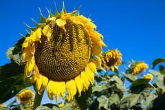 Sunflowers on Highway 14, South Dakota (vambo25) Tags: southdakota hwy14 highway14