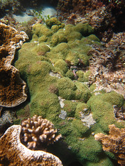 GCMP_sample_photo_2582 (r.mcminds) Tags: xvii cyphastrea scleractinian metazoan needsspeciesid pacificocean australia idbyjoepollock cnidaria gcmp robust anthozoan missingsampleinformation indopacific cyphastreasp sampleidneeded taxonomyuncertain photobyjoepollock lordhoweisland gcmpsample hexacorallian farflats animal cnidarian globalcoralmicrobiomeproject hardcoral merulinidae stonycoral au