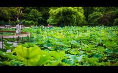 TAIWAN LOTUS POND     (eggwah123) Tags: taiwan taipei lotus pond green leaves outdoor sony sonya7ii a7ii mirrorless fe fe55mm fe55mmf18 zeiss zeisssonnar sonnar primes primelens street streetphotography travel travelling travellight depthoffield bokeh        lightroom5