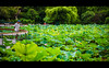 TAIWAN LOTUS POND 台灣 台北 荷花 蓮花 (eggwah123) Tags: taiwan taipei lotus pond green leaves outdoor sony sonya7ii a7ii mirrorless fe fe55mm fe55mmf18 zeiss zeisssonnar sonnar primes primelens street streetphotography travel travelling travellight depthoffield bokeh 台湾 台北 台灣 蓮花 荷花 池塘 荷花塘 lightroom5