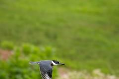 7K8A3857 (rpealit) Tags: scenery wildlife nature east hatchery alumni field hackettstown belted kingfisher flying bird