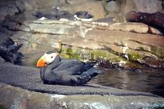 Tufted puffin - Monterey Bay Aquarium (Helene Iracane) Tags: california usa bird birds fauna tufted puffin monterey aquarium feather feathers californie