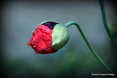 Amapola (Ria-Photography-ec) Tags: amapola flor flora naturaleza