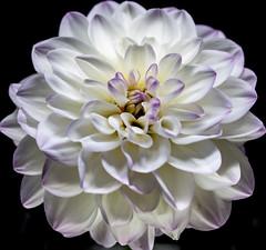 Dahlia (davidmeggers) Tags: flowers dahlia