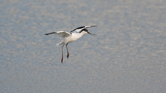 Avocet landing on the fresh water pit at RSPB Titchwell (Clive_Bushnell) Tags: birds coast marsh nature norfolktitchwell rspb seaseabirds summer uk waders wading wildlife beach gul canon eos 1d iii ef 300mm 28 norfolk titchwell wadingbird wader avocet flying flight landing