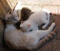 l'ora della poppata - Pianello di Ostra (walterino1962) Tags: gatti gatta gattini cuccioli assidilegno selciato mattoni luci ombre riflessi pianellodiostra ancona