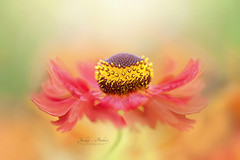 Autumn Dance (Jacky Parker Floral Art) Tags: helenium flower sneezeweed orange red closeup macro selectivefocus focusonforeground floatypetals outdoors nopeople horizontalformat creativeedit freshness vibrant fragility delicate colourful beautyinnature floralart summer2016 flowerphotography macrophotography naturephotography nikon uk