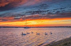 Dawn Swans (nicklucas2) Tags: bird swan seascape seaside sea yacht cloud