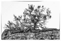 a strong survivor on Cathedral Rock (TAC.Photography) Tags: ruggedtree cathedralrock sedona arizona