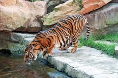 Sumatran Tiger, Bioparc, Fuengirola, Andalusia, Spain (rmk2112rmk) Tags: sumatrantiger bioparc fuengirola andalusia spain tiger pantheratigrissumatrae bigcat cat